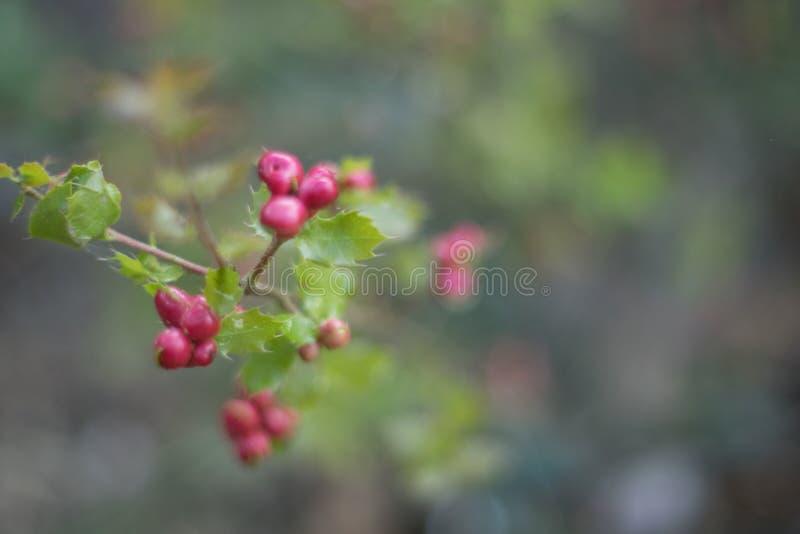 U?wi?cony i Czerwony Jagodowy t?o Zako?czenie ostrokrzewu aquifolium lub europejczyk?w u?wi?coni li?cie owoc i zdjęcia stock