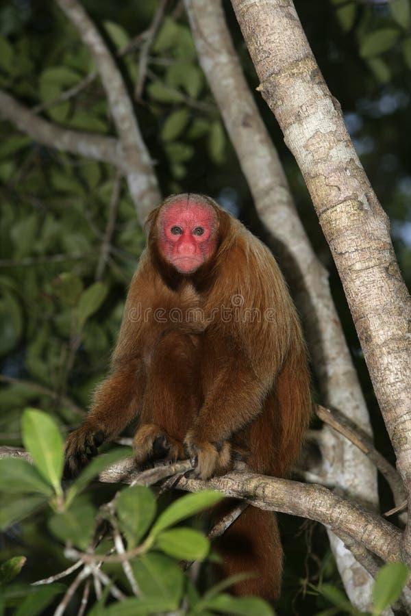 Uakari małpa, Cacajao calvus, zdjęcie stock