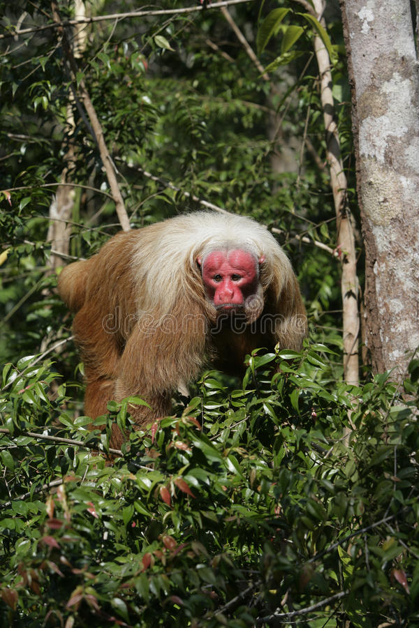 Uakari małpa, Cacajao calvus, obraz royalty free