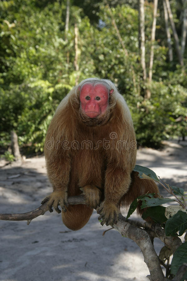 Uakari małpa, Cacajao calvus, obrazy stock