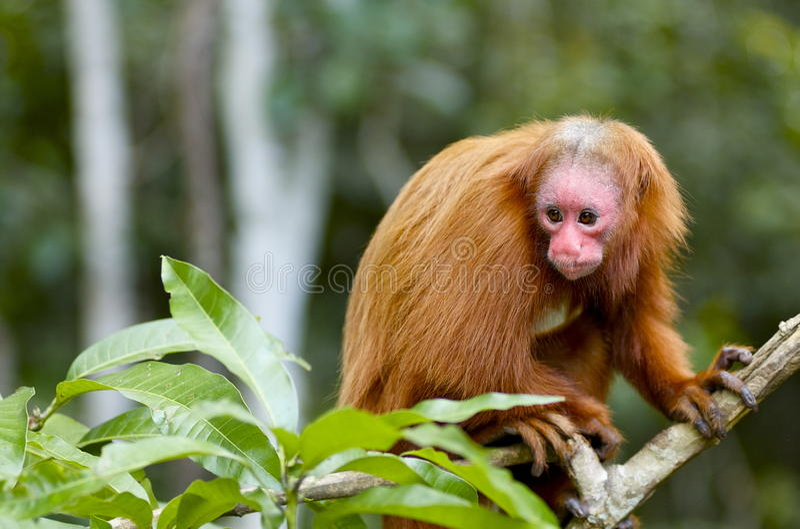 Uakaris Red Face Monkey In Peru Royalty Free Stock Image