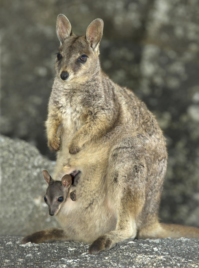 Ualabi de rocha de Mareeba com joey, rio de mitchell, Queensland, Austrália fotos de stock royalty free