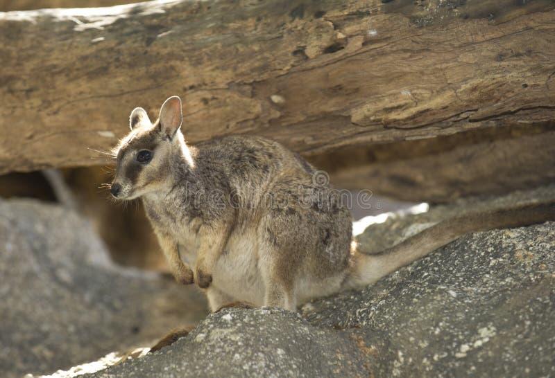 Ualabi de rocha de Mareeba, rio de mitchell, montes de pedras, Queensland, Austrália foto de stock