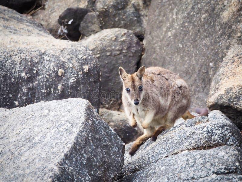 Ualabi de rocha selvagem de Mareeba imagens de stock
