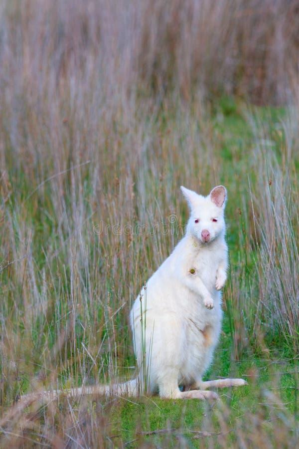 Ualabi do ` s de Albino Bennett no prado na ilha Tasmânia de Bruny imagem de stock