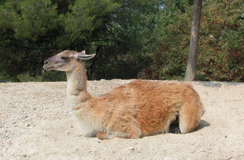 Ualabi no parque selvagem Natura Viva, Bussolengo, Itália foto de stock