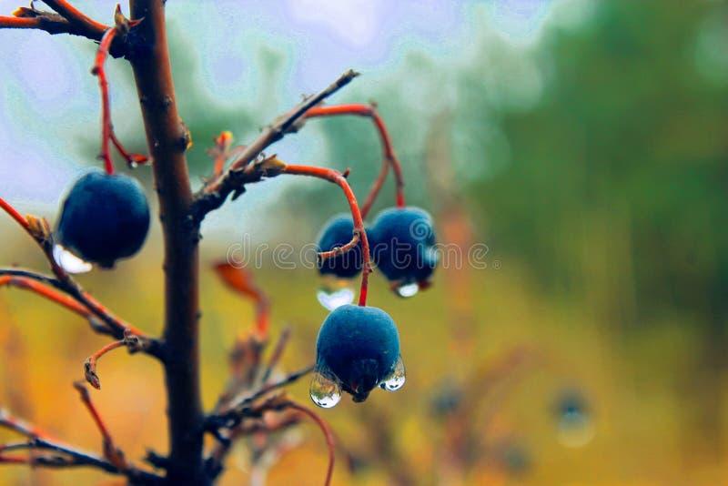 UAU! Bagas azuis tão agradáveis foto de stock royalty free