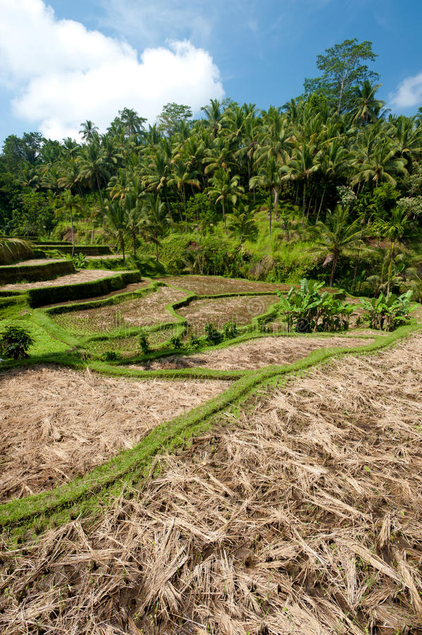 Download Ubad Rice Terraces, Bali Royalty Free Stock Images - Image: 23213509