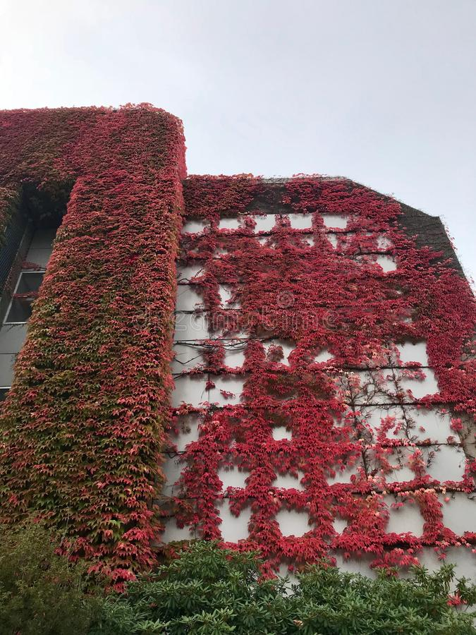 UBC in fall. Red maples, UBC building, in fall royalty free stock photo