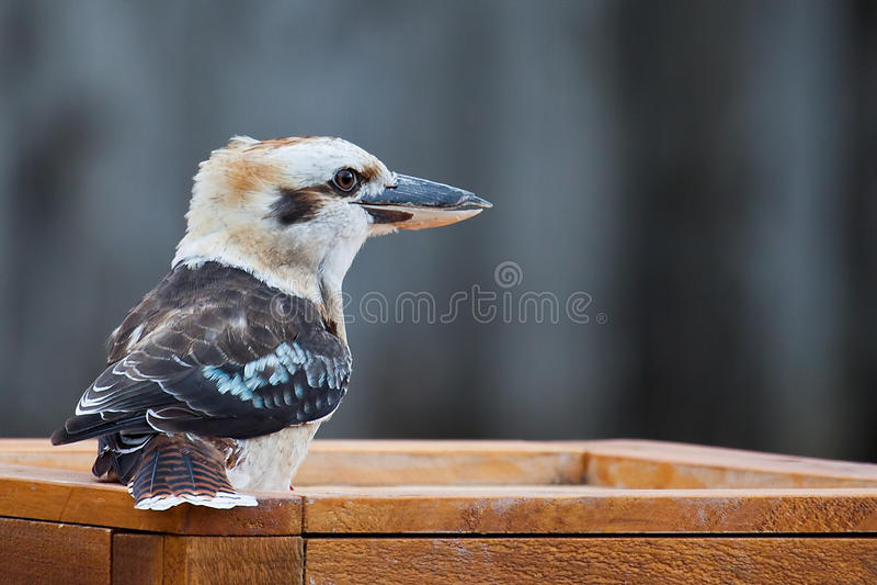 Ubicazione di kookaburra su una piattaforma fotografia stock libera da diritti