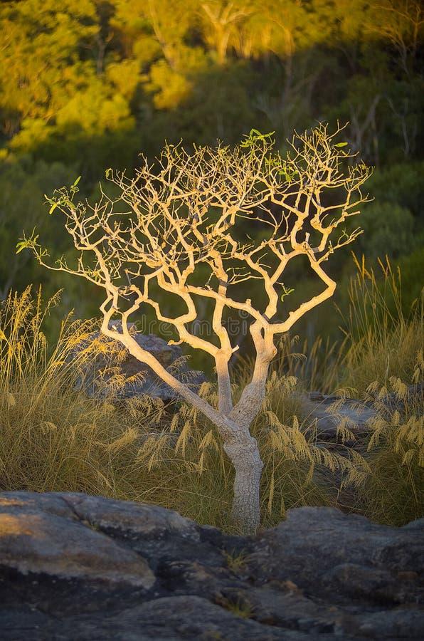 Ubirr Kakadu. Lone tree in late afternoon sunlight growing at Ubirr, East Alligator region of Kakadu National Park in the Northern Territory, Australia. It royalty free stock photo