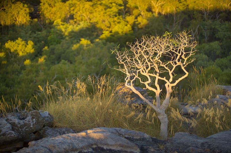 Ubirr Kakadu. Lone tree in late afternoon sunlight growing at Ubirr, East Alligator region of Kakadu National Park in the Northern Territory, Australia. It stock image