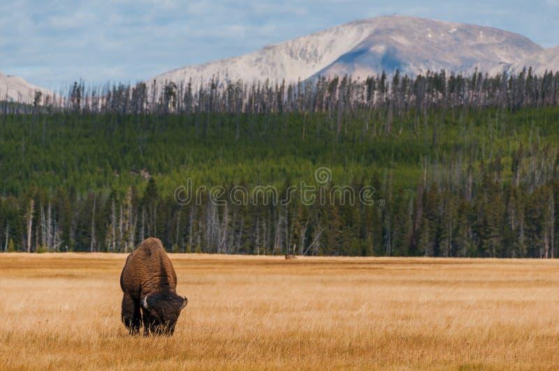 Żubr w Yellowstone NP zdjęcia royalty free