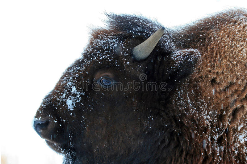 Żubra Bawoli roczniak w zimie w Yellowstone Lamar dolinie obraz royalty free