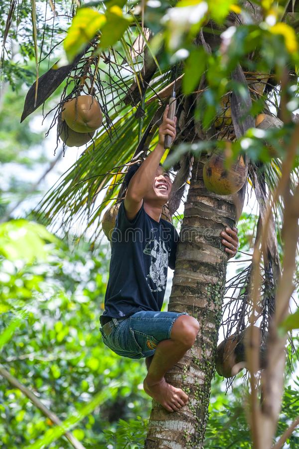 Ubud, Bali, Indonesia - March 2015. A young guy collects a harvest of coconuts, climbed on a palm tree with a kerambit knife stock photography