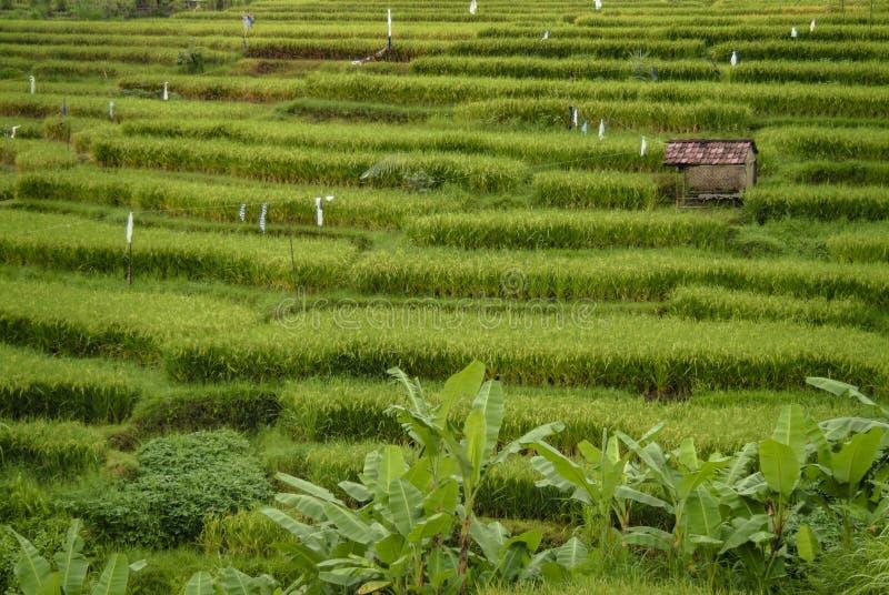 Ubud, Bali, terrazas del arroz y choza imágenes de archivo libres de regalías
