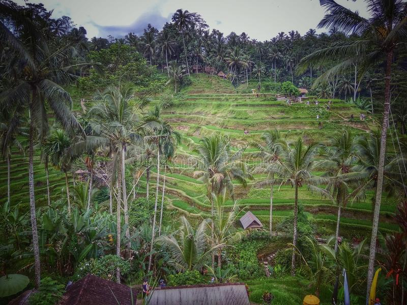 Ubud de la terraza del arroz de Ceking foto de archivo