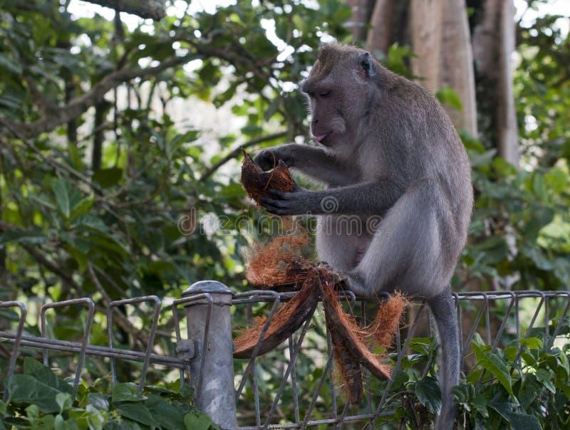 Ubud do macaco fotos de stock royalty free