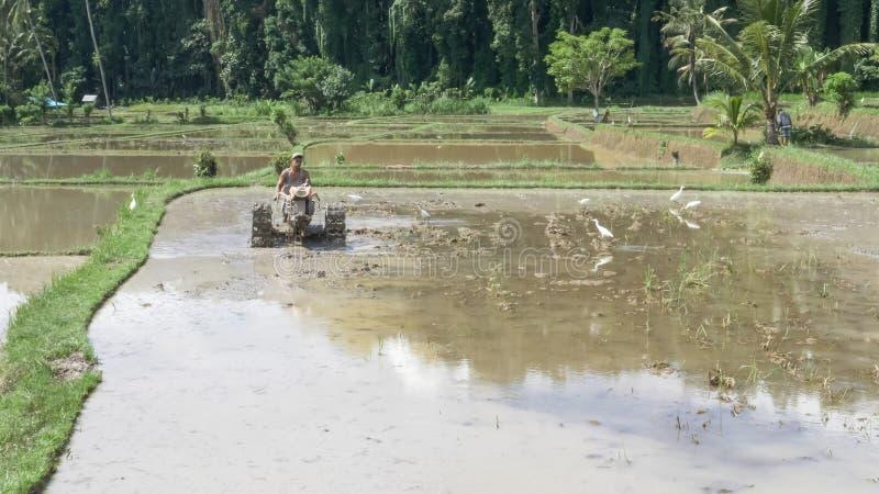 UBUD, INDONEZJA - MARZEC, 15, 2018: rolnik przygotowujący ryż niełuskany na bali fotografia royalty free