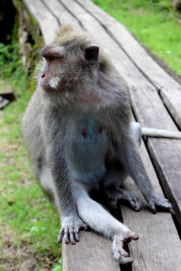 Ubud małpa obraz stock