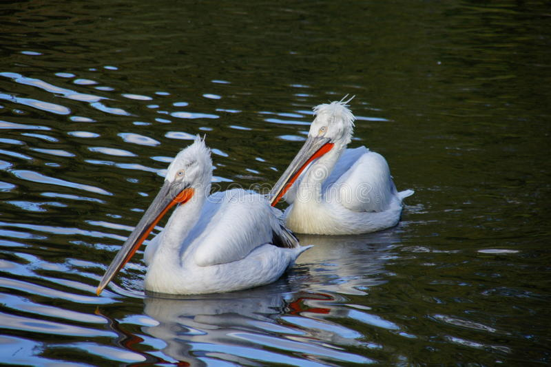 Uccelli acquatici immagine stock