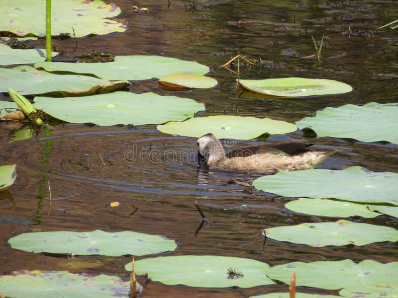 Uccelli acquatici immagine stock libera da diritti