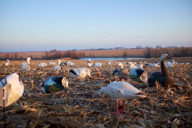 Uccelli acquatici dell'esca disposti intorno ad uno stagno o ad un lago rurale fotografia stock libera da diritti