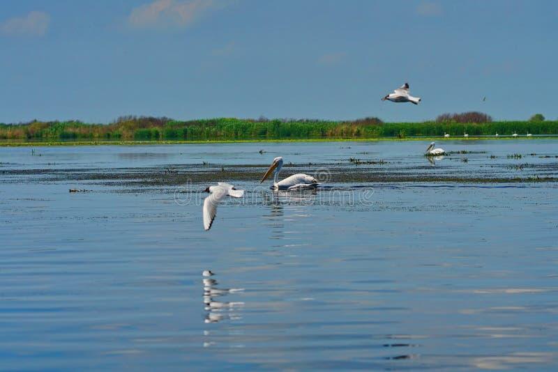 Uccelli acquatici di Pelikan fotografia stock libera da diritti