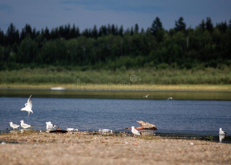 Uccelli bianchi del nord sulla riva del fiume Viluy a Yakutia immagine stock libera da diritti