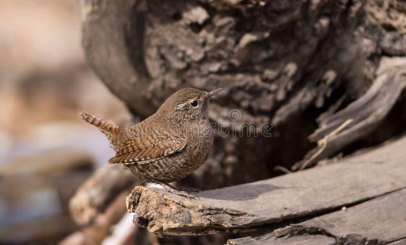 Uccelli canori insettivori di marrone di migrazione degli uccelli dello scricciolo i bei si appollaiano la riva del fiume selvagg fotografie stock libere da diritti