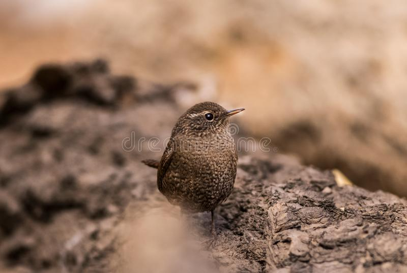 Uccelli canori insettivori di marrone di migrazione degli uccelli dello scricciolo i bei si appollaiano la riva del fiume selvagg fotografia stock libera da diritti
