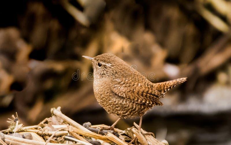 Uccelli canori insettivori di marrone di migrazione degli uccelli dello scricciolo i bei si appollaiano la riva del fiume selvagg immagini stock