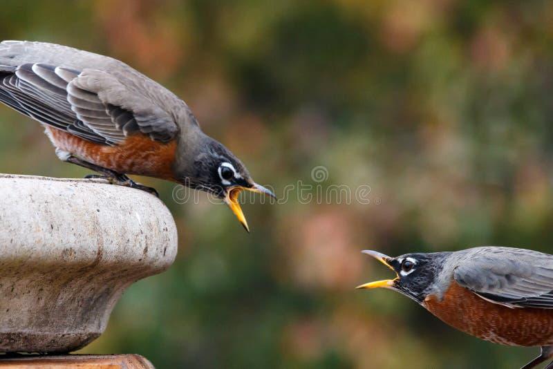 Uccelli che discutono sull'acqua fotografia stock libera da diritti