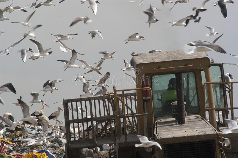 Uccelli che guardano nei rifiuti, gabbiani fotografie stock libere da diritti