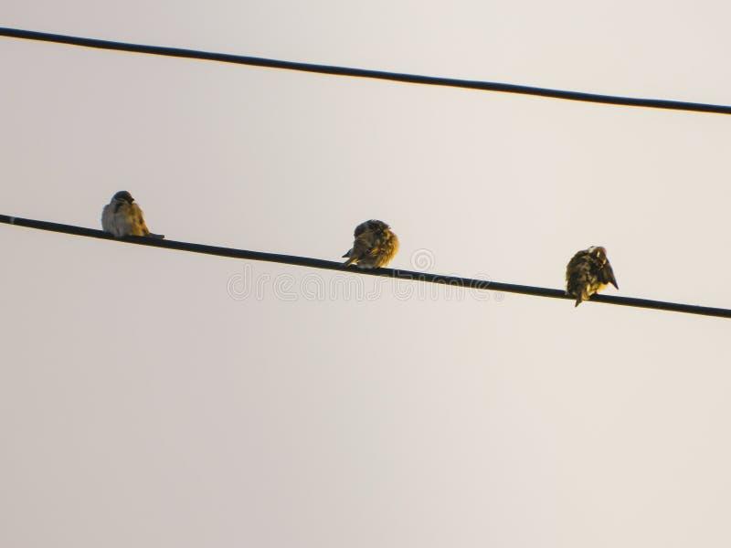 3 uccelli che si siedono sul cavo fotografie stock libere da diritti