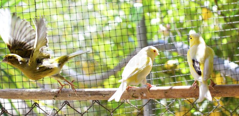 Uccelli color giallo canarino dentro una gabbia circa per prendere volo immagini stock libere da diritti