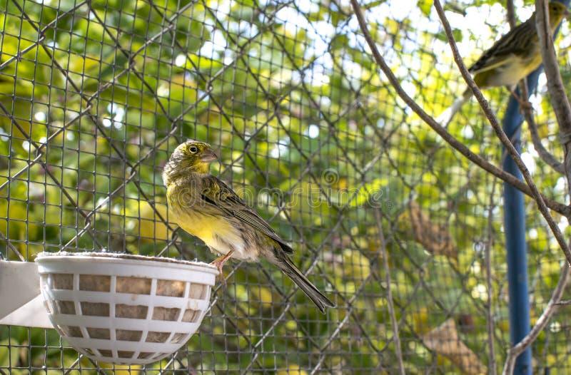 Uccelli color giallo canarino dentro una grande gabbia fatta dei fili di acciaio fotografia stock