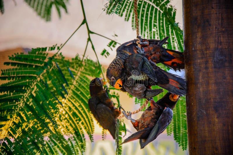 Uccelli con il becco giallo che gioca a vicenda fotografie stock libere da diritti