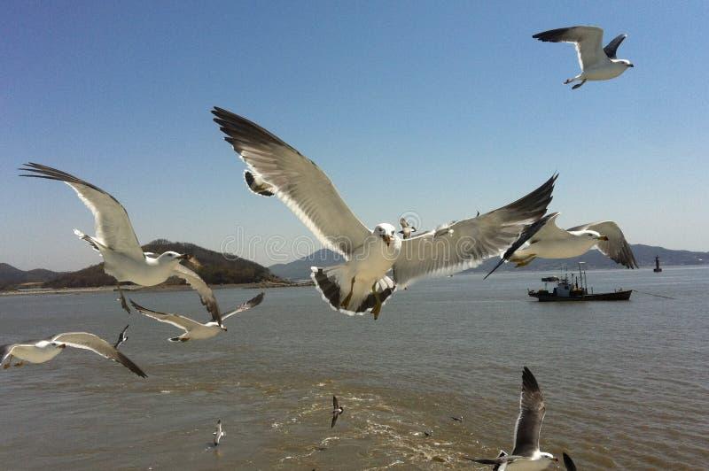 Uccelli coreani affamati dell'isola di Seongmodo dei gabbiani immagine stock
