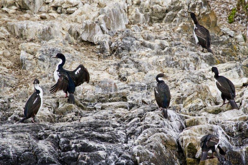 Uccelli - cormorani sulle rocce fotografia stock