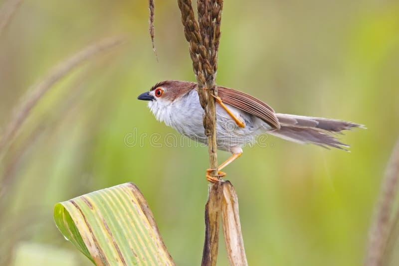Uccelli dall'occhio giallo del sinense di Chrysomma del chiacchierone della Tailandia fotografia stock