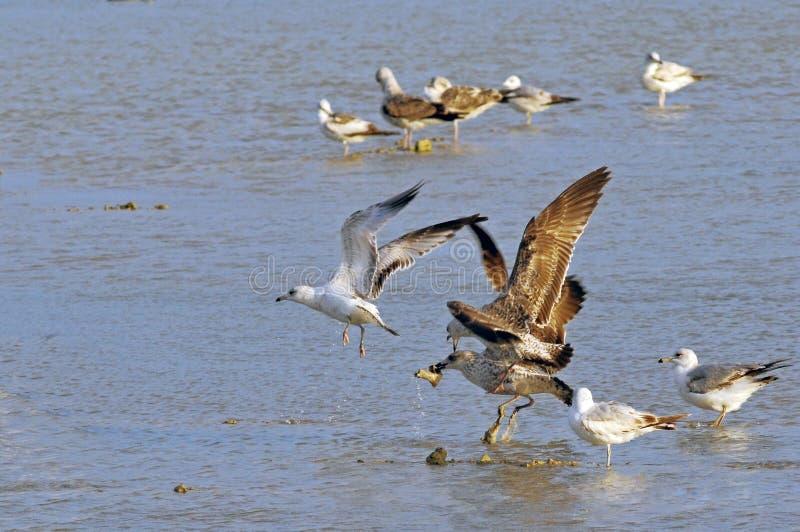 Uccelli del coltellinaio Bay Wetlands immagini stock
