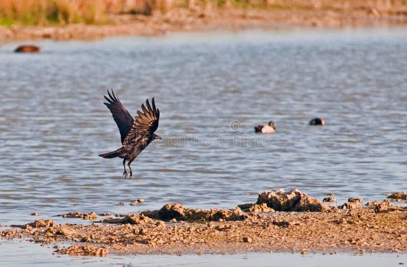 Uccelli del coltellinaio Bay Wetlands, Florida del sud fotografia stock libera da diritti