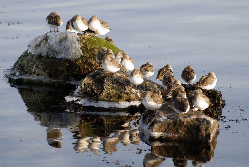 Uccelli del Dunlin immagine stock