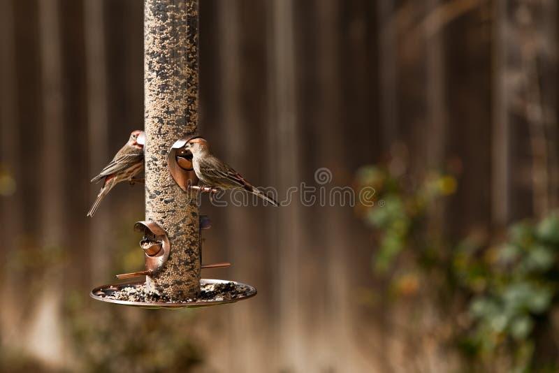 Uccelli del fringillide dell'alimentatore e della Camera dell'uccello fotografia stock