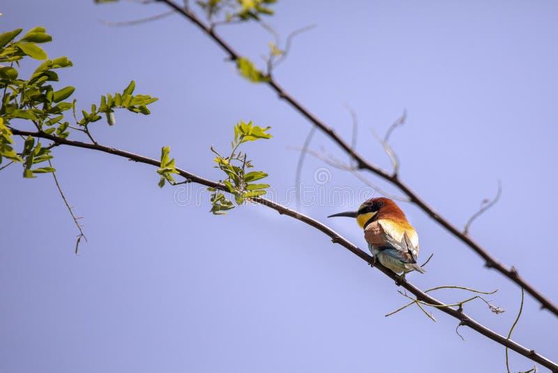 Uccelli del mangiatore di ape in varie posizioni fotografia stock libera da diritti