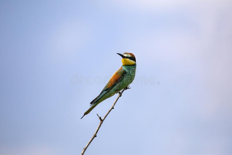 Uccelli del mangiatore di ape in varie posizioni fotografie stock libere da diritti