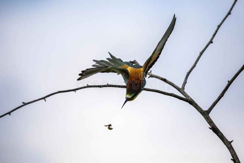 Uccelli del mangiatore di ape in varie posizioni immagini stock