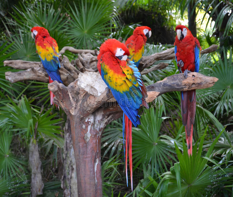 Uccelli del pappagallo dell'ara immagine stock