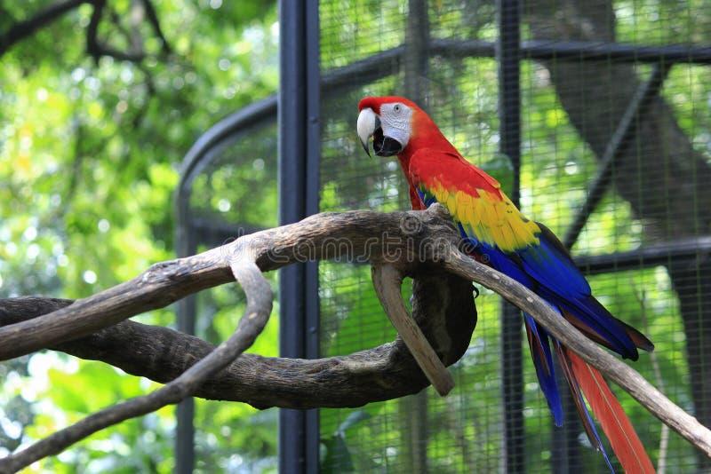 Uccelli del pappagallo dell'ara alati blu immagini stock libere da diritti